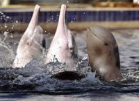 irrawaddy-dolphins-top.jpg